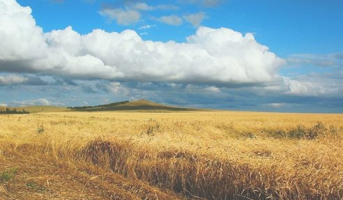 ukraine wheat field