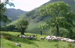 cumbria hill farming sheep
