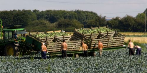 migrants pick broccoli